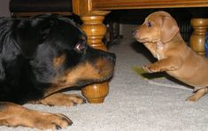 don't even think about it  u large doggie.. I am the master around here..u just got here..don;t u know what I am I am a DOXIE