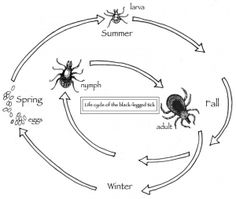 """The Outside Story: """"Dry Weather May Mean Less Lyme Disease,"""" by Dave Mance III. Illustration by Adelaide Tyrol. """"Over the past few decades, black-legged tick populations have grown relentlessly throughout much of southern Vermont and New Hampshire, and farther north in the Connecticut and Champlain Valleys. These are the ticks that carry Lyme disease…"""""""
