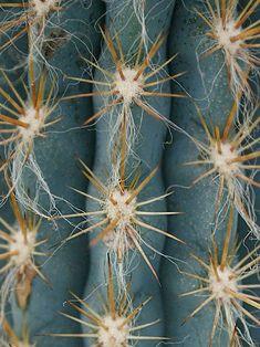 cactus close up (foto: FLO atelier botânico) matéria: aprenda a diferenciar cactos das euforbias #cacti