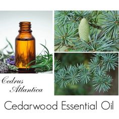 Cedarwood Essential Oil, Cedarwood Oil, Cedarwood Essential Oil Uses... (49.845 IDR) ❤ liked on Polyvore featuring beauty products