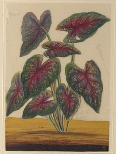 Trichinopoly, India (made)  Date: ca. 1860. This painting depicts a caladium.