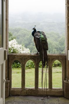 A peacock, whose ancestors came originally from India, adds an appropriately exotic touch to the Garden Hall at Newark Park. Beyond are the Mendip Hills. ©NTPL/Andreas von Einsiedel