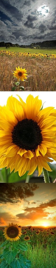 Sunflower sky by Ms.B