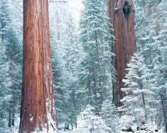 Redwoods in winter, Sequoia National Forest
