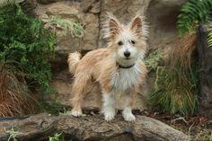 AKC invites 2 new breeds: The Portuguese Podengo Pequeno and the Chinook