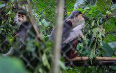 Cuc Phuong National Park Vietnam Buffalo Run http://www.divergenttravelers.com/vietnams-great-adventure-buffalo-run/ #vietnam #divergenttravelers #buffalorun #bestblog #postoftheday #travelpost #Adventure #mustsee #mustdo #photooftheday #cucphuongnationalpark #monkeys