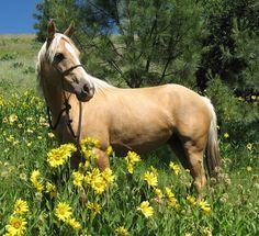 Palomino Quarter Horse - horses, quarter horse, animals, palomino, american horse