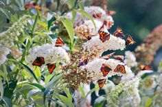 Everything you need to know about growing and caring for buddlejas