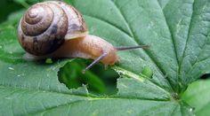 Les limaces et les escargots vous envahissent et colonisent vos plantes ?Nous avons un anti-limace naturel, écologique et...... gratuit.Il vous faut juste quelques coquilles d'oeufs.Comment fai