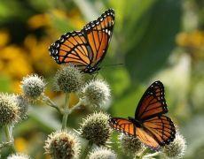 Monarch Butterflies in Carlisle, Iowa /Monarch Way Station