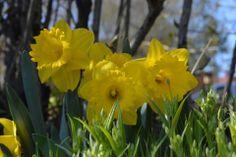 Narsissit ojanpenkalla | Vesan viherpiperryskuvat – puutarha kukkii