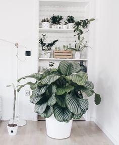 """Oft werde ich gefragt, wie die """"große Pflanze"""" heißt, die bei uns wohnt. Die Antwort lautet: Calathea oder auch Korbmarante. Und weil ihr die Calathea so toll findet, dachte ich mir, ein Beitrag über sie wäre sicher nicht verkehrt. Kurz vor Weihnachten ist diese Schönheit bei uns eingezogen. Mein Mann wollte mir eine""""kleine"""" Freude bereiten.Read more"""