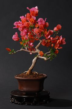 Bonsai - Bougainvillea