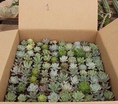 "Facebook Specials 100 rosette shaped succulents in plastic square 2"" containers. bulk wholesale succulent prices at the succulent source - 1"