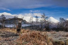 This stag, who seems to be imitating his ancestor the Monarch of the Glen, was photographed near Glencoe in Scotland by John Pow, 53, from Kirkcaldy
