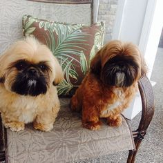 Shih Tzu brothers ... Freddie (left, gold w black mask) and younger bro Jack (right, red w black mask)