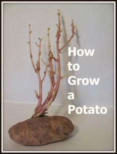 The Chocolate Muffin Tree: Experiment: How to Grow a Potato