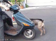 Perro motorista