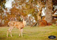 New Hogan Reservoir~Deer  www.bgillespiephotography.com