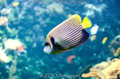 Keizersvis - Pomacanthus imperator -  emperor angelfish | by MrTDiddy
