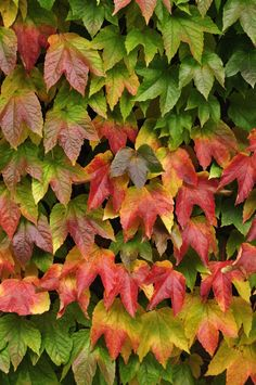 Fast Growing Flowering Vine Virginia Creeper