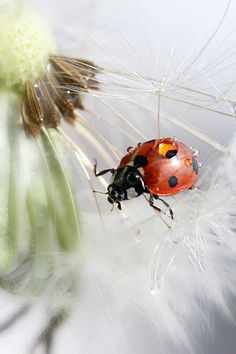 Drops Art Print featuring the photograph Fly Ladybug. Fly by Heike Hultsch Bernardo Y Bianca, Righteousness Of God, A Bug's Life, Macro Photography, Belle Photo, Beautiful Creatures, Lady In Red, Cute Animals, Wildlife