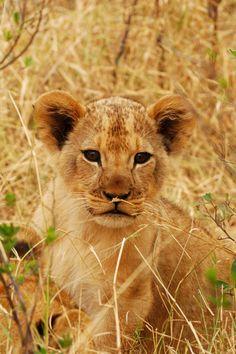 Young lion cub by Stephanie Periquet