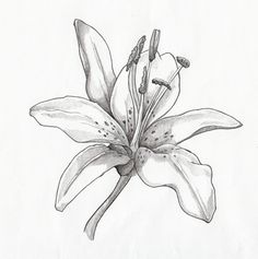 Pencil Illustration day lilly | Lilies Drawing In Pencil Picture