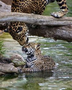 Love : leopards