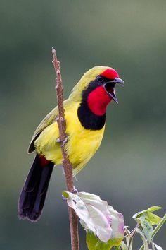 #BIRDS: #Doherty's_Bush_Shrike (Telophorus Dohertyi) http://www.dunway.com/bird_package/index.html