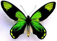 O_victoriae:   Ornithoptera victoriae (Gray, 1856)