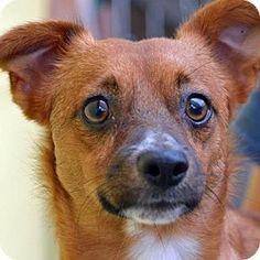 St. Petersburg, FL - Corgi Mix. Meet Archie, a dog for adoption. http://www.adoptapet.com/pet/13722660-st-petersburg-florida-corgi-mix