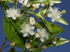 Native list- Angle-stemmed myrtle with flowers   Photo: Glenn Leiper