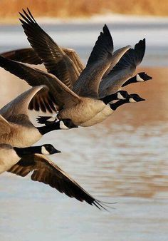Canadian Geese. We have a large flock of these living at the pond behind our house.