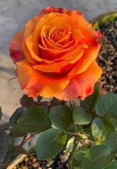 Beautiful Flowers Pictures, Beautiful Rose Flowers, Beautiful Flower Arrangements, Pretty Roses, Flowers Nature, Flower Pictures, Exotic Flowers, Pretty Flowers, Good Morning Roses