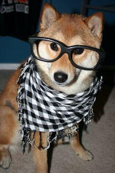 hipster shiba inu!
