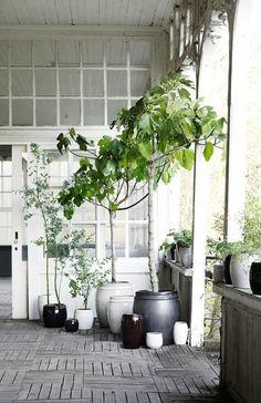 grüne zimmerpflanzen bäumchen feigenbaum