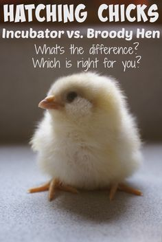 We've tried hatching chicks every which way, and there are definite pros and cons to consider.