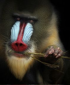 What Are You Looking At By Amador Funes Beautiful Mandrill Amazing Animal Pictures