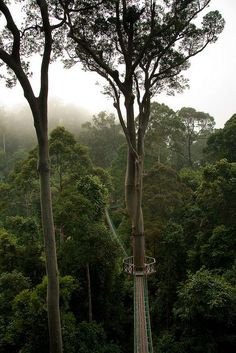 Borneo Rainforest canopy walkway, Malaysia. The island's rainforest is home to seven distinct ecoregions and more than 3,000 species of trees, 15,000 species of flowers and plants and over 600 species of birds and mammals.