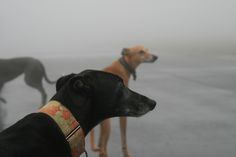 https://flic.kr/p/96CgR5 | Greyhound Run 2011.01.01 | 2011. A foggy New Years day, twenty or so greyhounds (and owners and other dogs) descend upong a fenced in municipal airport runway in Bonny Doon....     Much running and bad visibility ensue.  A few pictures turned out, many did not... still a great day for hounds and owners both.