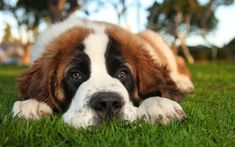 There are some dog breeds in the world which are very expensive. While all dogs are lovable, here are the ten most expensive dog breeds in the world. Dog Dna, Female Dog Names, Big Dog Breeds, Expensive Dogs, Dog Muzzle, St Bernard Dogs, Dog Anxiety, Most Popular Dog Breeds, Dog Signs
