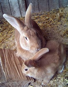 Flemish Giant rabbits - fawn colored! x c..looks like my Chet bunny.