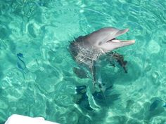 Dolphins are cetacean mammals closely related to whales and porpoises. There are almost forty species of dolphin in 17 genera.