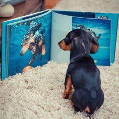 .dachshund♡.