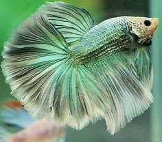 Betta fish are often considered to be among the heartiest sort of fish one can purchase, but great betta fish care is essential to a long and happy life. Betta Fish Tank, Beta Fish, Pretty Fish, Beautiful Fish, Colorful Fish, Tropical Fish, Freshwater Aquarium, Aquarium Fish, Deep Sea Creatures