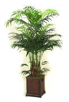 Kentia Palm Tree Cute For The Corner Of A Room Cort Kentia Palmhome Decor