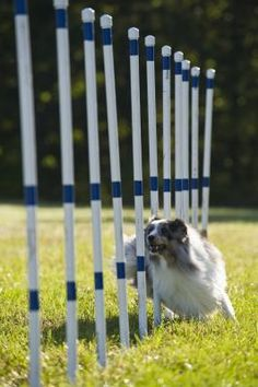 The fast-paced, highly competitive sport of canine agility pits highly trained dogs and handlers against the clock to see which team can complete a highly regulated obstacle course with the quickest time and fewest mistakes. While there are many sanctioning bodies for the sport, the American Kennel Club's (AKC) guidelines for obstacle safety, size and performance are used and applied most commonly.