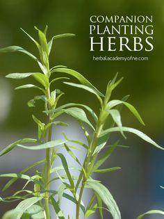 Companion Planting Herbs & Vegetables