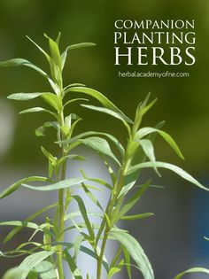 Companion Planting Herbs | Herbal Academy of New England. Online course: http://herbalacademyofne.com/intermediate-herbal-course/?ap_id=fresheggsdaily